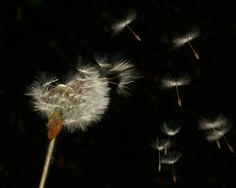 Dandelions Can Fly