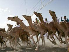 Camel races! #oman @Alyssa Koerper