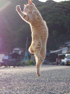 30 Of The Funniest Dancing Cat Pics Funny Cat Images, Funny Animal Pictures, Funny Cats, Cute Funny Animals, Cute Cats, Kittens Cutest, Cats And Kittens, Jumping Cat, Ninja Cats