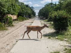 Oh Deer! - To me this deer crossing the path on Fire Island, reminds me of the Abby Road Album cover...minus the Beatles that is.