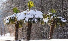 Die Insel Mainau im Winter - Der Winter auf der Insel Mainau hat seinen ganz besonderen Reiz. Jetzt ist Zeit für ruhige Spaziergänge und Träumereien. Doch die Natur erwacht bereits wieder: Winterblüher wie die Zaubernuss zeigen ihren frühen Flor.