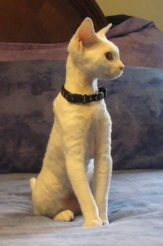 Intelligence, jumping skills, and lengthy toes are what makes Cornish Rex cat amazing. This intelligent breed of cat has the skills to open doors, hang on different objects and can even rummage on your closets. I Love Cats, Crazy Cats, Cool Cats, Kittens Cutest, Cats And Kittens, Small Cat Breeds, Devon Rex Kittens, Cornish Rex Cat, White Cats