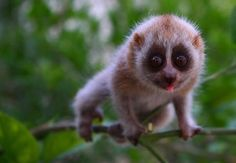 WHAT IS A LORIS? ARE YOU DESIGNED TO MELT MY HEART?! - https://www.facebook.com/different.solutions.page