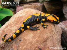The North African fire salamander (Salamandra algira) inhabits humid montane forest. Like other fire salamanders, the North African fire salamander has lines of poison glands running along its back and onto its tail.