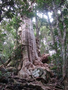 Giant Tree  (Lophostemon confertus) by Tatters:), via Flickr