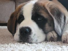 Saint Bernard puppy 9weeks