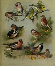 Redpoll, Chaffinch & SparrowBritish birds /. London ;Longmans, Green,1915-1916..