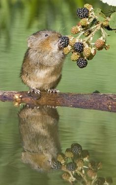 water vole by lezli