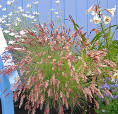 From Annie: This small, evergreen grass from South Africa makes the softest, prettiest blooms of any grass we grow!