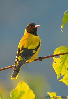 Black-hooded Oriole -- This is NOT a Baltimore Oriole. It's a foreign cousin.