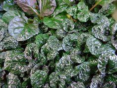 "Metallica Crispa Ajuga - Carpet Bugle - Huge Leaves - 48 Plants - 2 1/4"""" Pots"