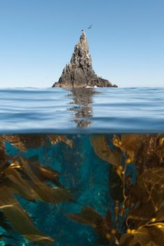 Underwater photo of Anacapa and kelp, Channel Islands National Park, California…