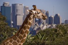Taronga Zoo - take the ferry over to the Taronga zoo -  you can catch a ferry to it from circular quay in the city (the zoo is in the north). See views and koalas/kangaroos (12 min ferry ride)