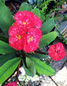 Floración matizadas de la planta Corona de Cristo, Euphorbia mili