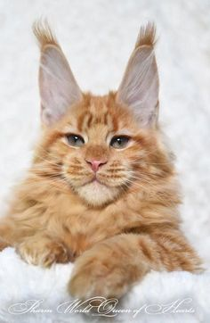 Are you looking to find Maine Coon Kittens for sale? We have some tips and advice to help you find these cats for sale from a trusted breeder in your area Pretty Cats, Beautiful Cats, Animals Beautiful, Cute Animals, Animals Images, Chat Maine Coon, Maine Coon Kittens, Cats And Kittens, Chat Lynx