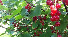 röd vinbärsbuske pris