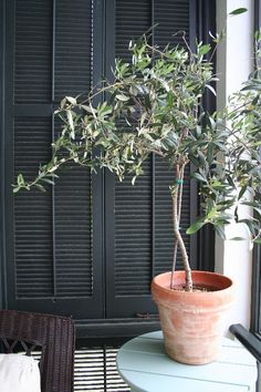 It's not easy, but possible. Growing olives indoors! #trees #olives