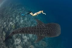 Swimming with the whale sharks in the Sea of Cortez. Best places to see these beauties is on the East Cape at Cabo Pulmo or at La Paz. Both make great day trips from Cabo. CONNIEMEX.COM CONNIE MEYERHOFF SNELL REAL ESTATE