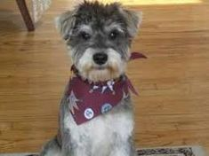 Image result for schnoodle grooming styles
