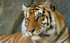Watchful eyes bengal tiger wallpaper tigers animals wallpapers for Tiger Images, Tiger Pictures, Eye Pictures, Animal Pictures, Baby White Tiger, White Bengal Tiger, Bengalischer Tiger, Tiger Face, Snow Tiger