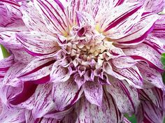 Love the peppermint stripes on this dahlia!