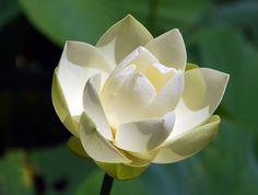 lotus flower embroidery | Lotus flowers