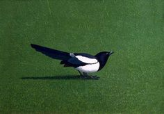 Magpie, 1970 by David Inshaw on Curiator, the world's biggest collaborative art collection. One For Sorrow, English Romantic, Digital Museum, Collaborative Art, Tag Art, Bird Art, In This World, Cool Pictures, Cool Art