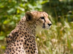 Cheetahs are carnivourous animals that prey on gazelles, impala, hares, and even larger animals such as zebra and wildebeests. Cheetahs are diurnal hunters, as they hunt during the day and rest at night.