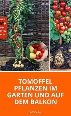 Tomoffel pflanzen im Garten und auf dem Balkon   eatsmarter.de #garten #gärtnern #diy #tomatoffel #tomoffel #pflanzen #saisonal #regional