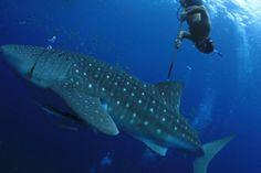 Indonesia memiliki spesies ikan hiu terbanyak yaitu sekitar 150 jenis.