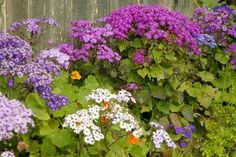 Cineraria grows like a perennial here-love! Here are a few tips.