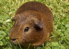 Guinea pigs make a lot of noises.  Find out what they mean here!