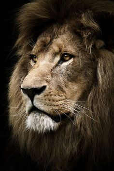 Lion beautiful cats, animals beautiful, most beautiful pictures, animals and pets, cute Lion And Lioness, Lion Of Judah, Lion Wallpaper, Animal Wallpaper, Beautiful Cats, Animals Beautiful, Beautiful Pictures, Lion Photography, Lion Love