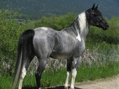 """""""Blue Roan APHA Tobiano stallion who is 15-3 hands"""