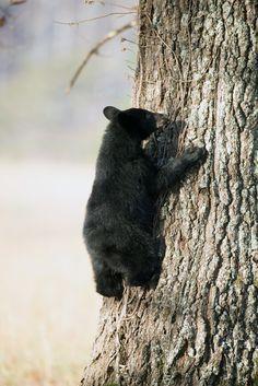 Beautiful bear cub in the Smokies