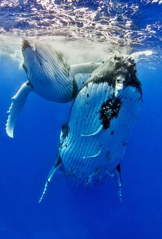 """earthlynation: """"Humpback Whale Female with Calf. Photo by Tomas Kotouc. Orcas, Fauna Marina, Photo Animaliere, Life Photo, Save The Whales, Life Aquatic, Humpback Whale, Bryde's Whale, Whales"""