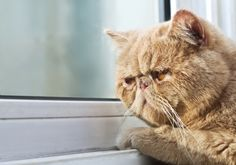 Persian Cat Haircut Photographic Print: Closeup Portrait Photo of a CPA Cat Looking out through a Window by Xiaojiao Wang : - Aquarius Personality, Cat Crying, Cat Sleeping, Light Therapy, Portrait Photo, Cat Lady, Zodiac Signs, Things That Bounce, Stock Photos