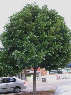 Garden Ideas Brisbane the 5 best trees for brisbane gardens | gardens, trees and hedges