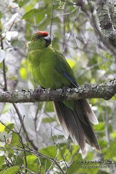 Norfolk Island Parakeet/Red-fronted Kakariki  (Cyanoramphus novaezelandiae)