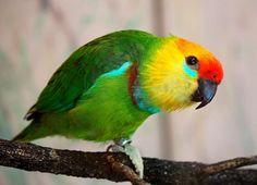 Pappagallo dei fichi di Desmarest - Large Fig-parrot -  Psittaculirostris desmarestii