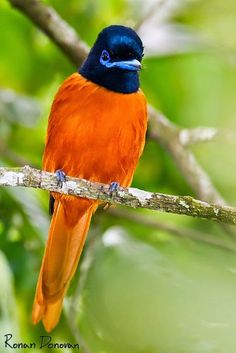 (Posted) Red-bellied paradise-flycatcher (Terpsiphone rufiventer), also known as the black-headed paradise flycatcher is native to West Africa. (by ronan donovan) Kinds Of Birds, All Birds, Little Birds, Love Birds, Angry Birds, Pretty Birds, Beautiful Birds, Animals Beautiful, Exotic Birds
