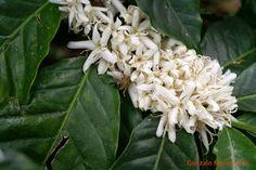 Flores del café.