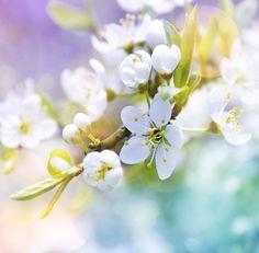 Apple blossom by Stefan Eisele