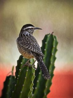 The cactus wren is the largest wren in the United States, at 8 1/2 inches. The brown-backed bird has a conspicuous long, white eye stripe and a heavily spotted breast. It is a common bird among thorny shrubs and cholla cactus in deserts and arid hillsides in the Southwest. This bird is also found in shade trees and open mesquite close to human habitation.