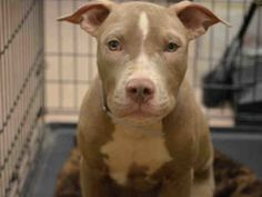 10•19•16 STILL THERE●Urgent Manhattan - EMERALD - #A1093798 - MALE TAN WHITE PIT BULL MIX, 6 Mos - STRAY - NO HOLD Reason STRAY - Intake 10/17/16 Due Out 10/20/16