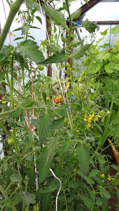 Mina tomater