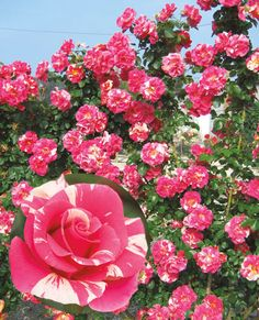 JP: Candy Land (Pretty Lady) - Deep Luscious Pink Swirled Creamy Yellow Climber Roses
