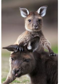 Kangourou et son petit / kangaroo and her baby Cute Baby Animals, Animals And Pets, Funny Animals, Strange Animals, Nature Animals, All Gods Creatures, Cute Creatures, Kangaroo Baby, Joey Kangaroo