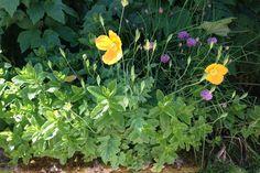 Poppies in the garden at Maxwelton Heating Oil, Log Burner, Poppies, Cottage, Garden, Holiday, Plants, Cozy Nook, Casa De Campo