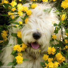 """Bobtails/OES/English Sheepdogs ; ) – romantically cute ; )  """"happy Spring"""" at sea (photo by dewollewei/Cees 2014-04-03 via flickr 22858517)"""